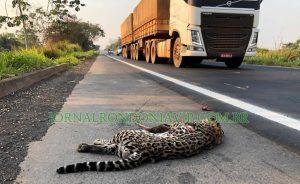 Jaguatirica morre atropelada na BR-364 em Rondônia