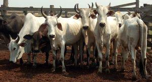 Gado furtado em fazenda é recuperado perto de matadouro em Urupá